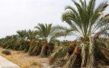 ممنوعیت توسعه باغهای بوشهر همزمان با احداث ۱۲ سد جدید!