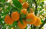 قیمت پرتقال در شمال کشور ۱۵۰۰ در بوشهر ۷۵۰۰ تومان